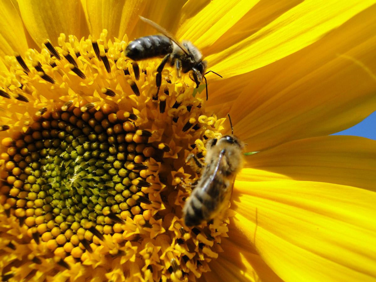 Daily Photo: Bees Feeding on Sunflower