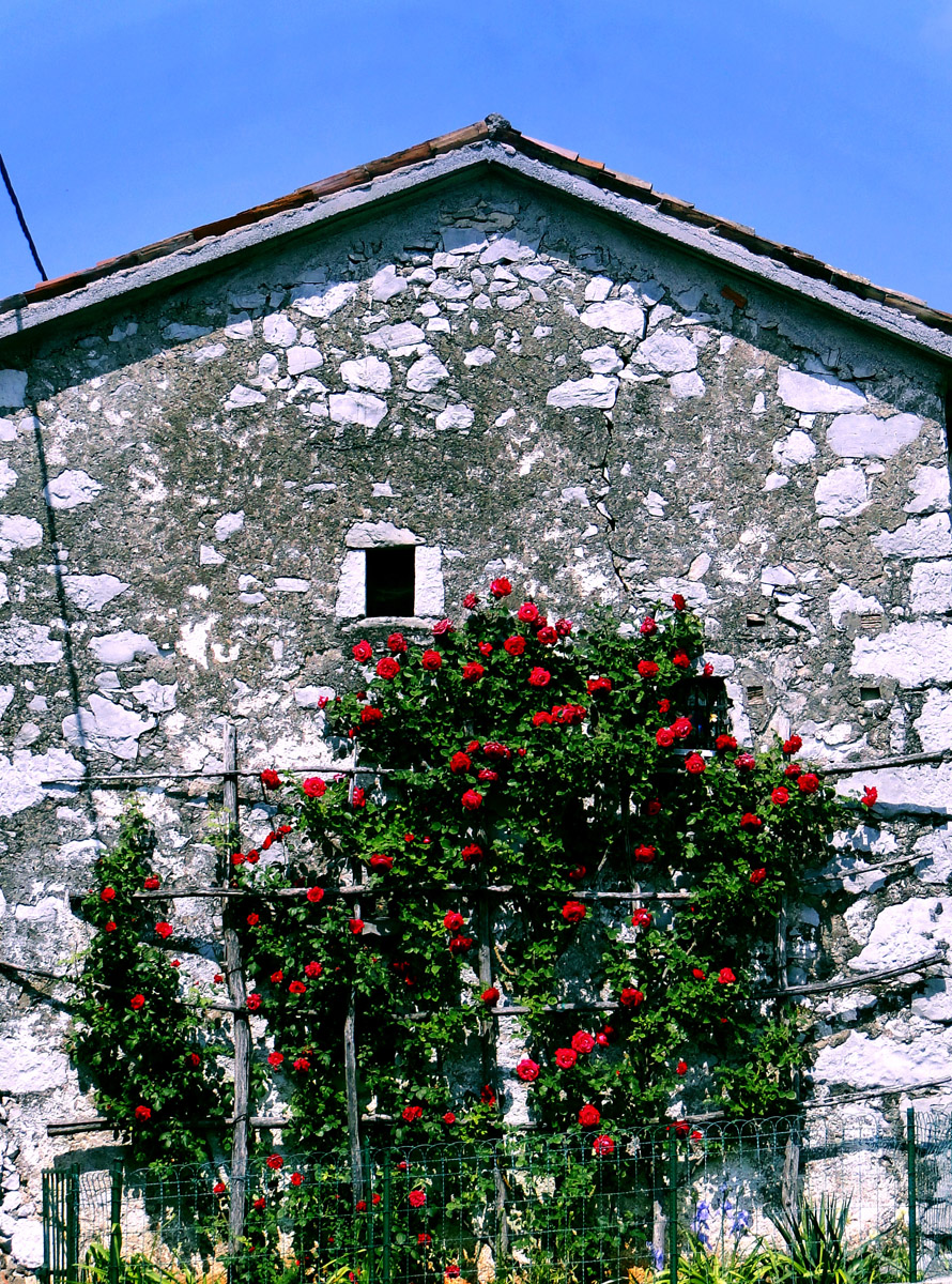 Roses on old Building