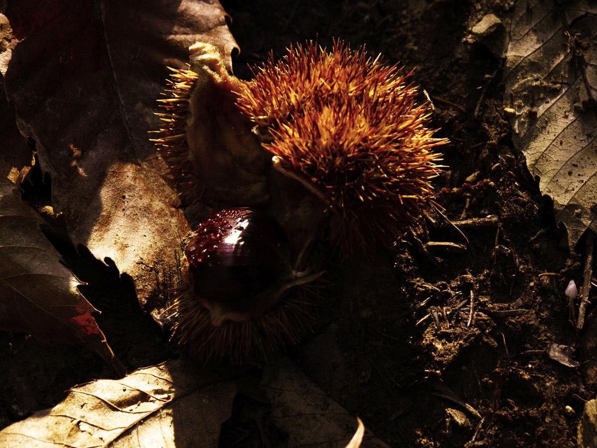 Wild Chestnut in autumn sun