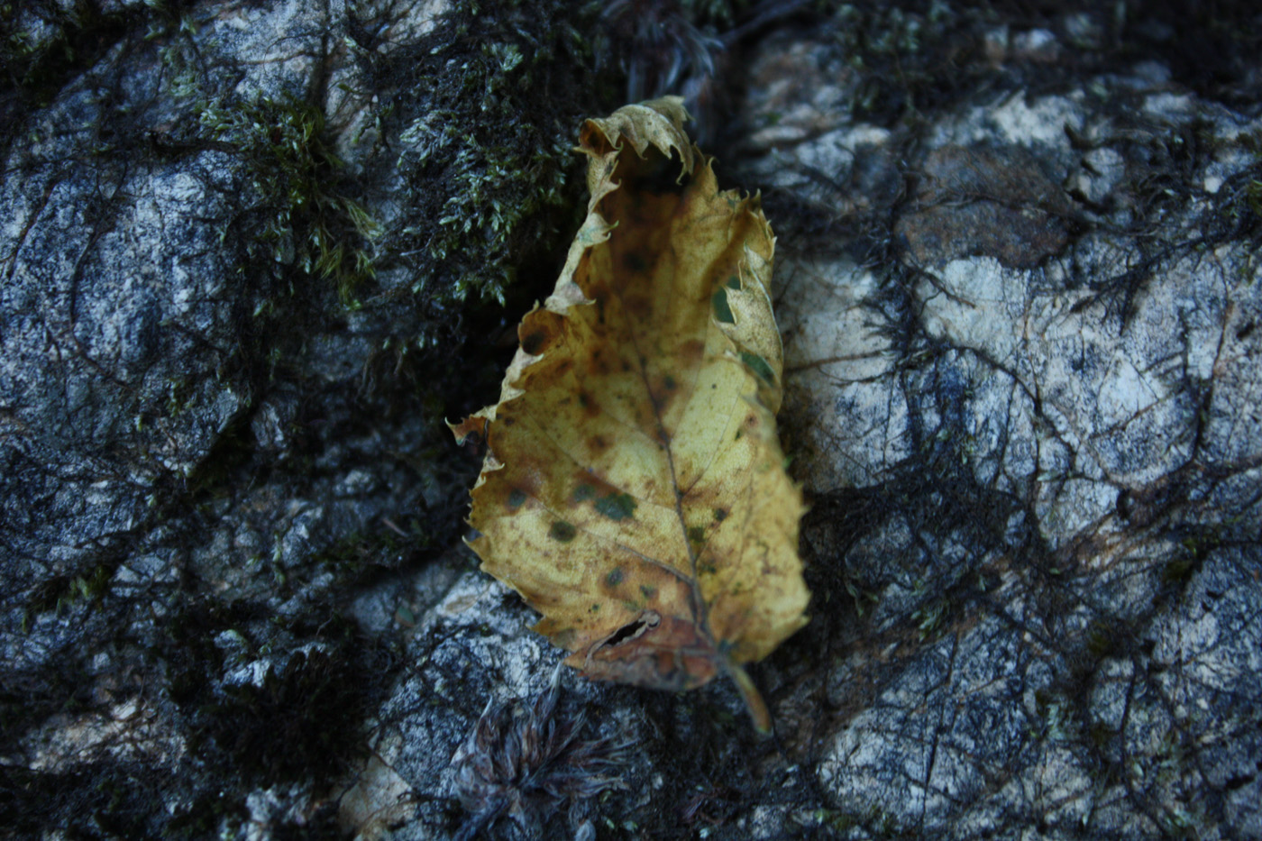 Autumn Leaf on Stone Texutre