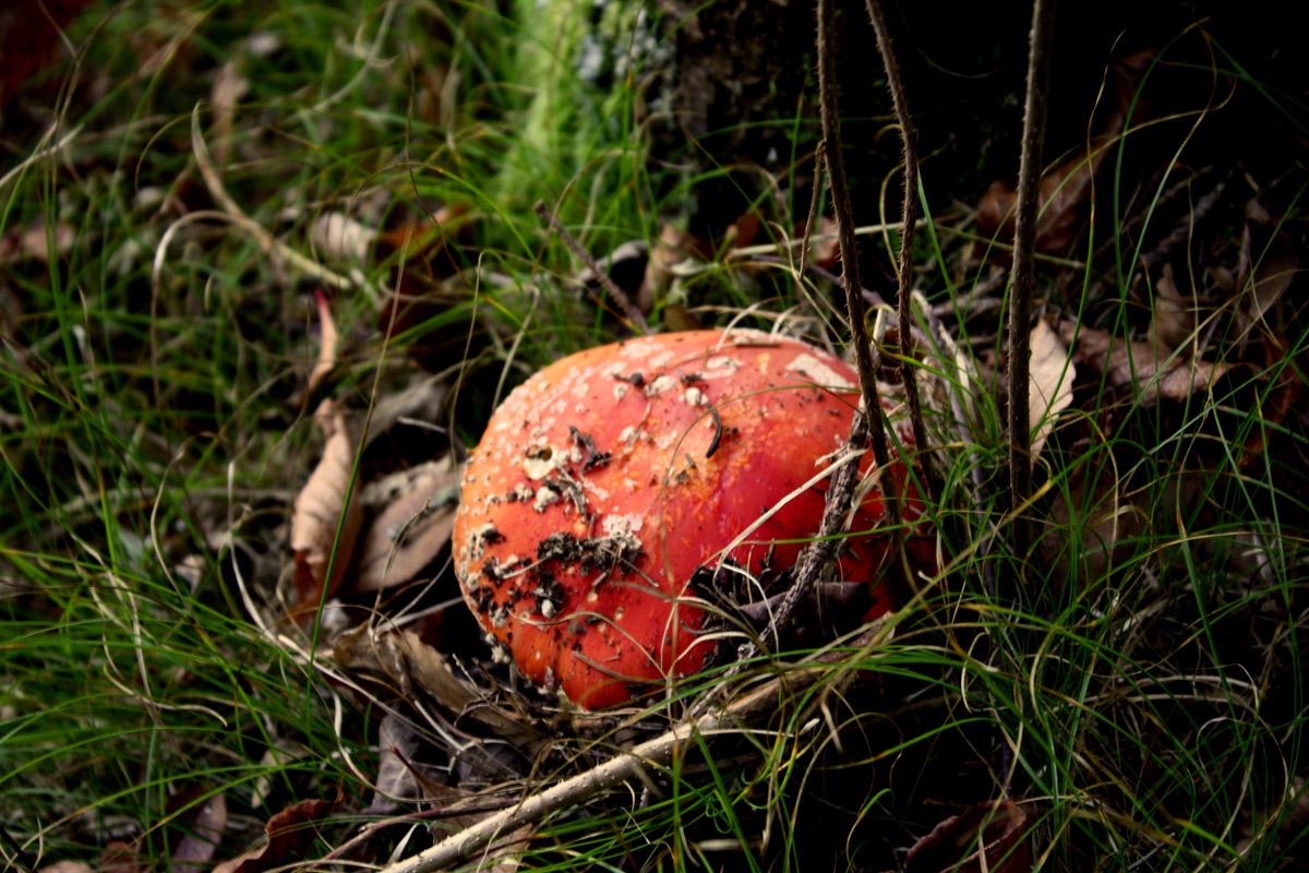 A Toadstool Mushroom