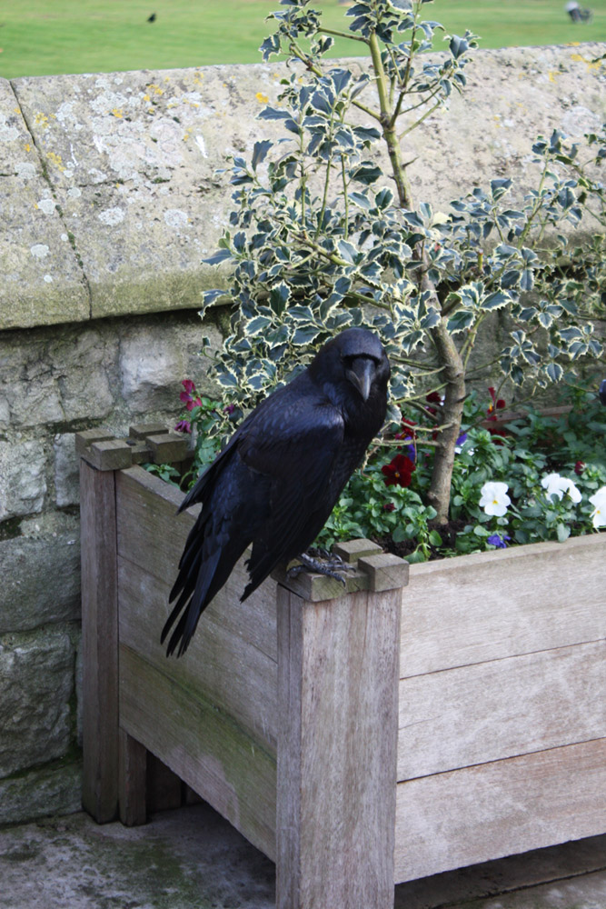 Look of the Raven