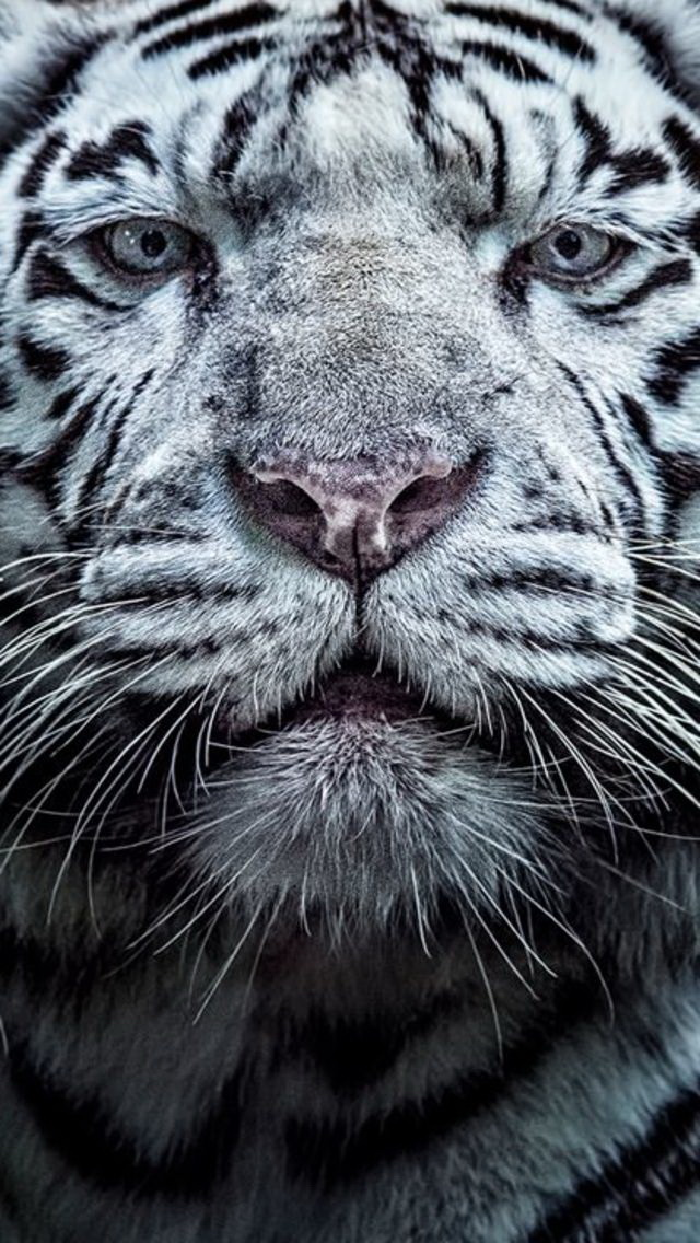 This Close Up Of A White Tiger Is For IPhone 5
