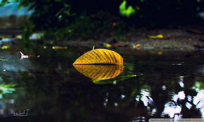 yellow_leaf_on_water-wallpaper-800x480