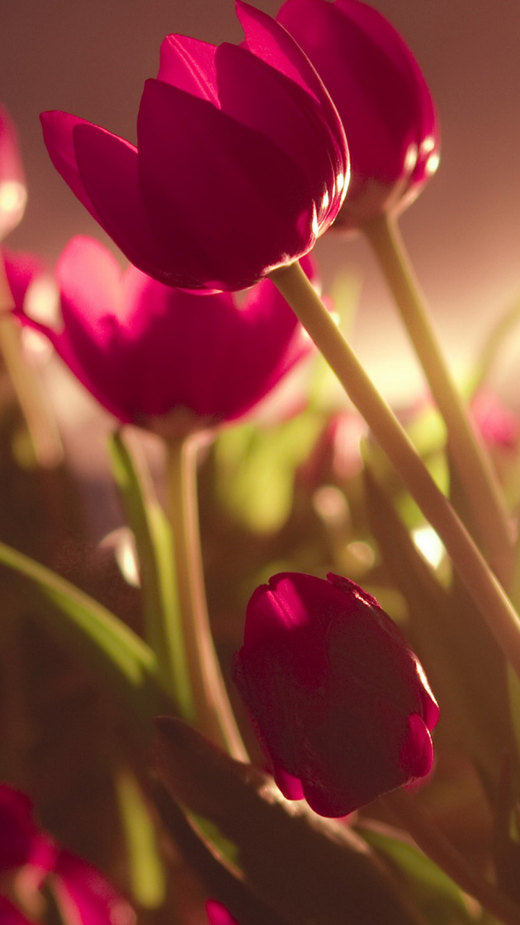 Wallpaper iphone beautiful - Beautiful Tulips Soft Light Iphone 6 Wallpaper