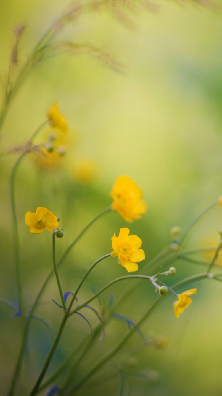 5 Buttercups Flowers IPhone 6 Wallpaper
