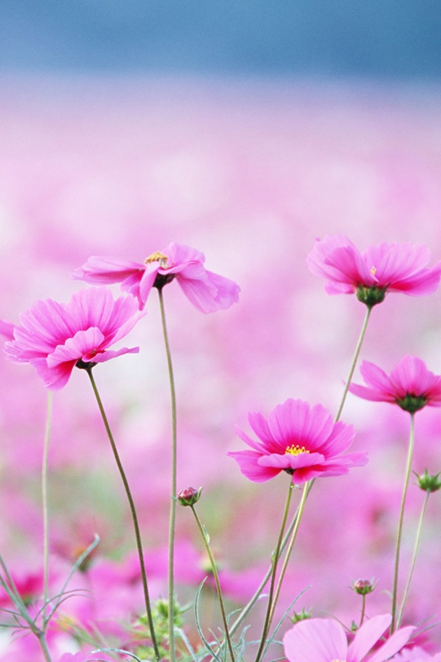 20 free flowers iphone wallpapers premiumcoding pink flowers mightylinksfo